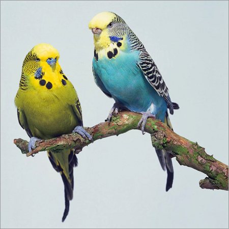 How to tame a budgerigar