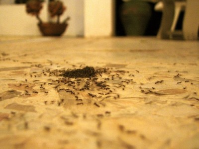Get rid of ants in the house naturally