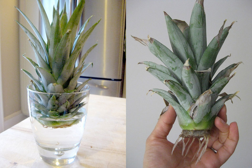 Grow a pineapple in your home (2)