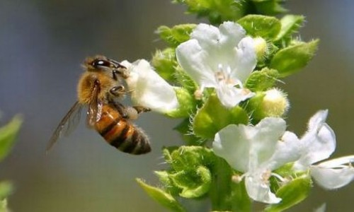Repel the bees with essential oils